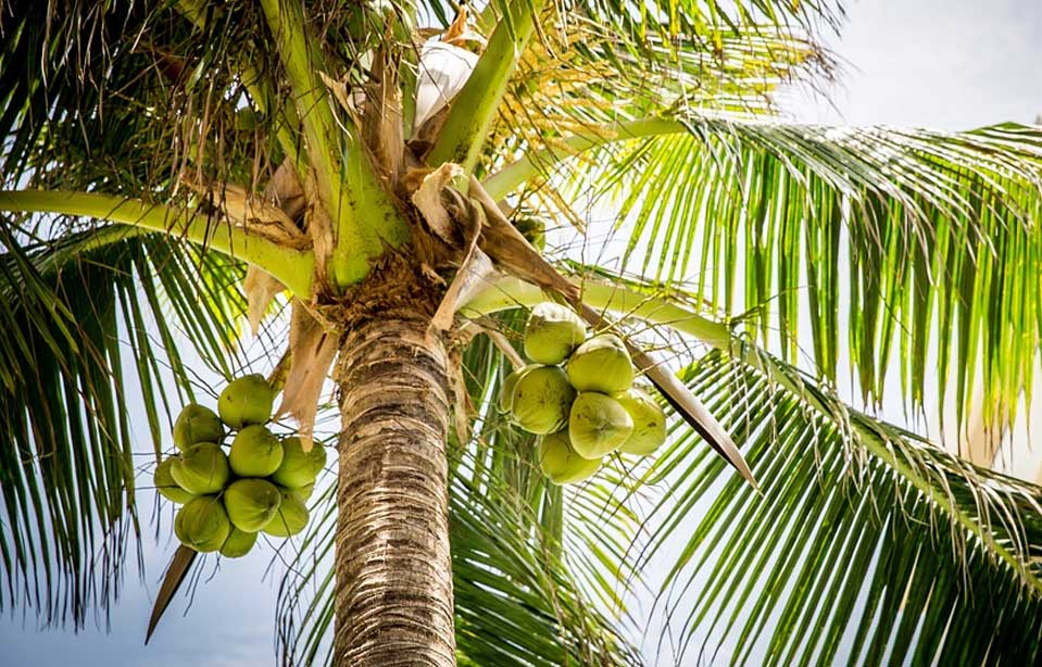 Kokospalme Nüsse