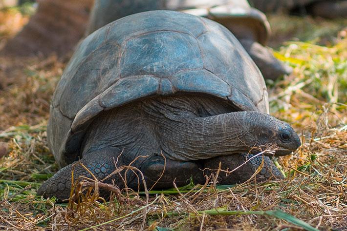 Denis Private Island Turtle